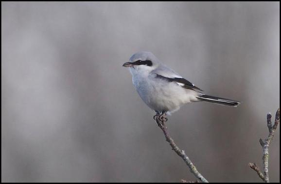 Great Grey Shrike 160118