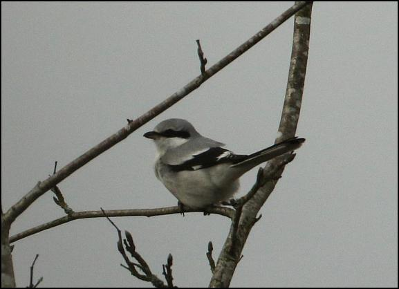 Great Grey Shrike 180118