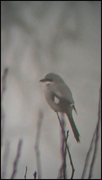 Great Grey Shrike 200118