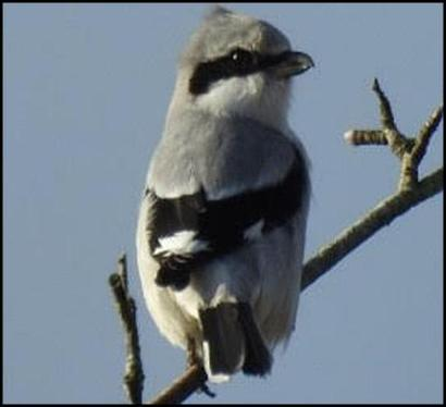 Great Grey Shrike 230118