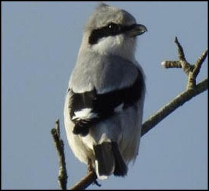 Great Grey Shrike 230118