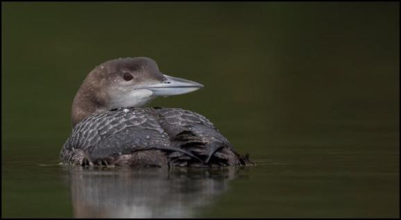 Great Northern Diver 1 020118