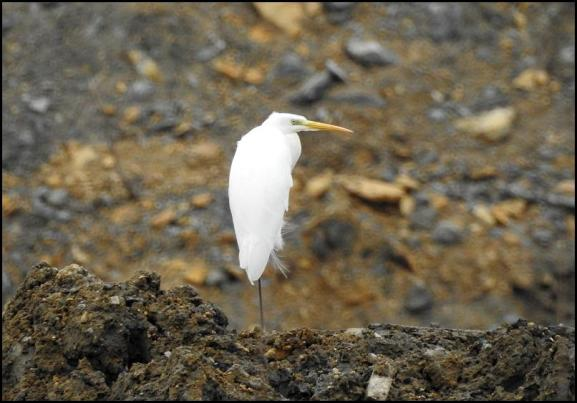 Great White Egret 280118