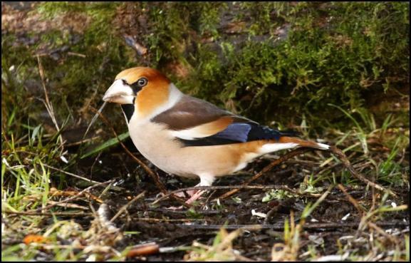 Hawfinch 1 250118