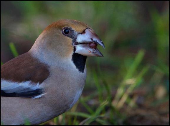 Hawfinch 160118