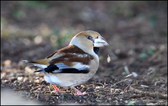 Hawfinch 190118