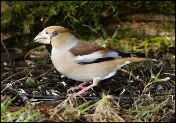 Hawfinch 2 250118