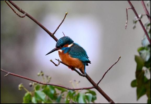 Kingfisher 280118