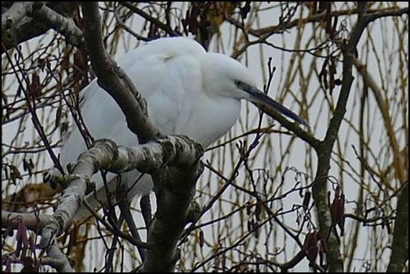 Little Egret 300118.jpg