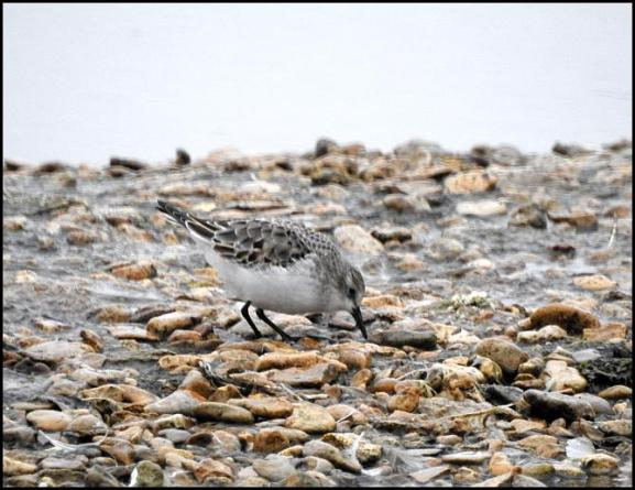 Little Stint 020118