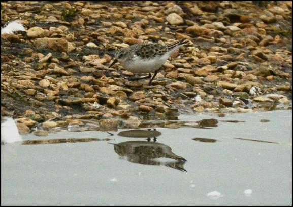 Little Stint 120118