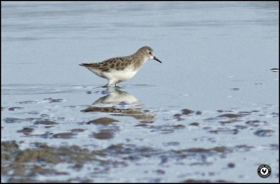 Little Stint 260118