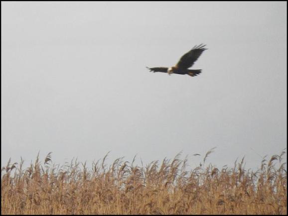 Marsh Harrier 080118