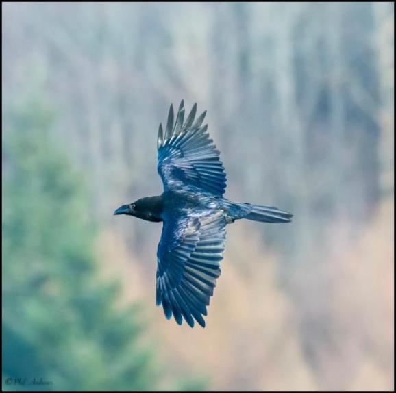 Raven 300118