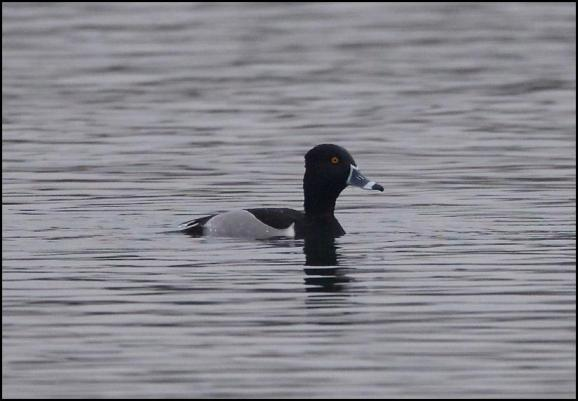 Ring-necked Duck 140118