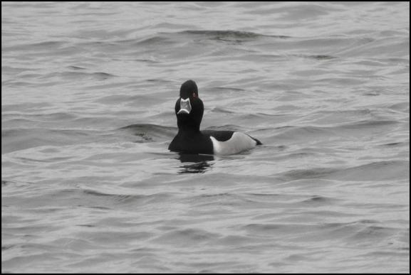 Ring-necked Duck 280118
