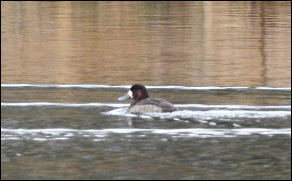 Scaup 1 220118