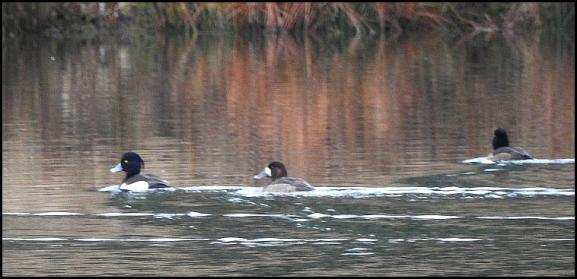 Scaup 2 220118