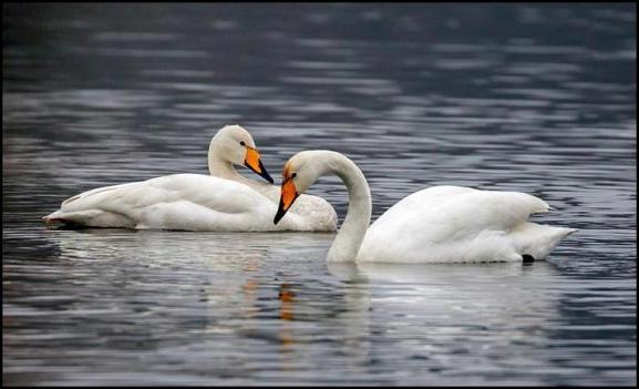 Whooper Swans 120118