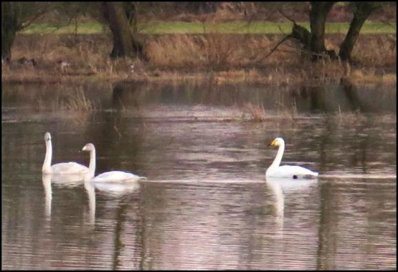 Whooper Swans 150118