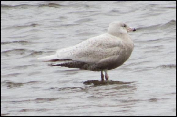 Glaucous Gull 080218