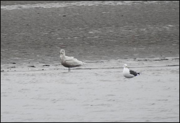 Glaucous Gull 090218 1