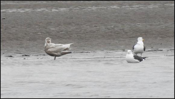 Glaucous Gull 090218 3