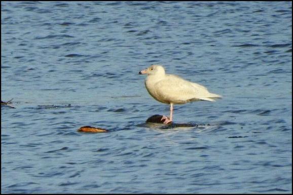 Glaucous Gull 160218