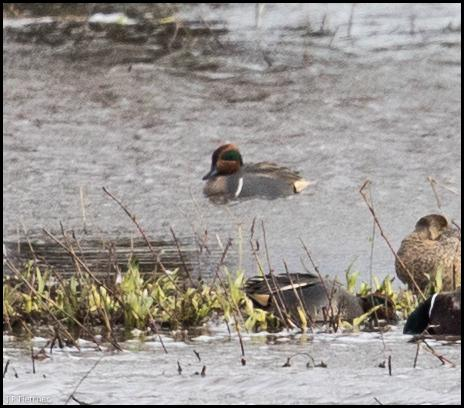 Green-winged Teal 130218 1
