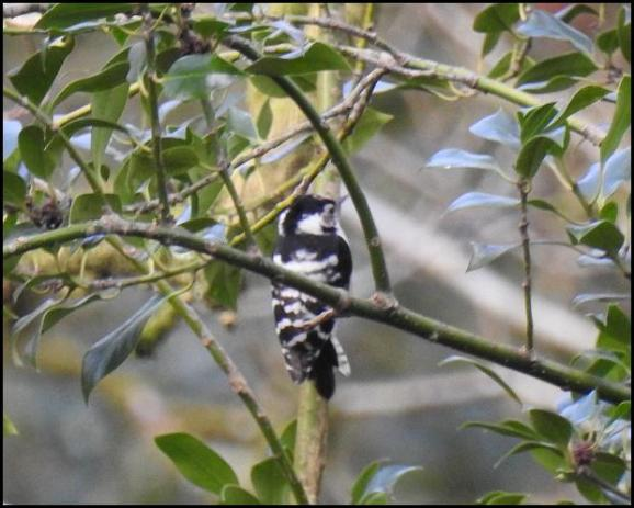 Lesser Spotted Woodpecker 200218 1