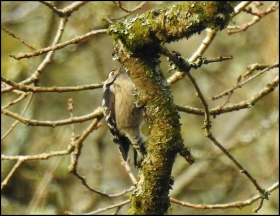 Lesser Spotted Woodpecker 200218 2