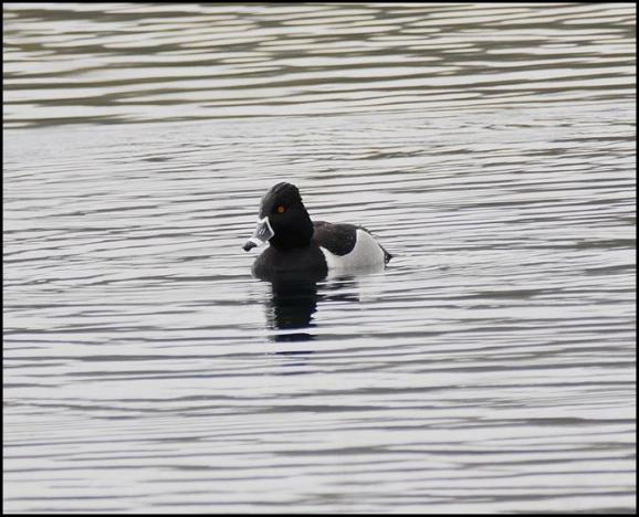 Ring-necked Duck 210218