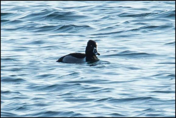 Ring-necked Duck 240218
