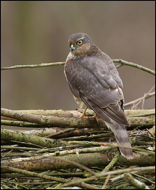 Sparrowhawk 180218