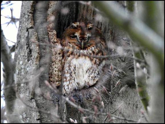 Tawny Owl 140218.jpg