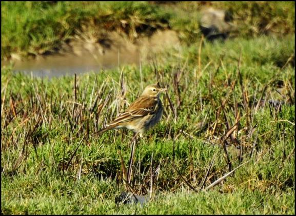 Water Pipit 070219