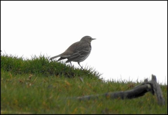 Water Pipit 190218