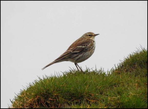 Water Pipit 210218