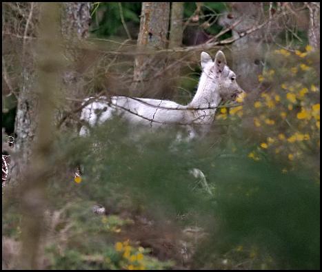 White Fallow Deer 210218