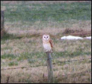 Barn Owl 040318 1