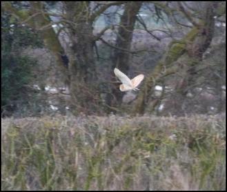 Barn Owl 040318 2