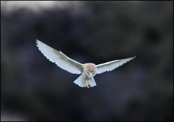 Barn Owl 150318 1