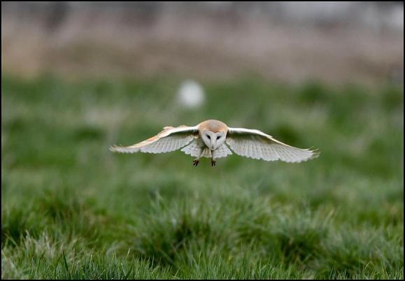 Barn Owl 150318 2