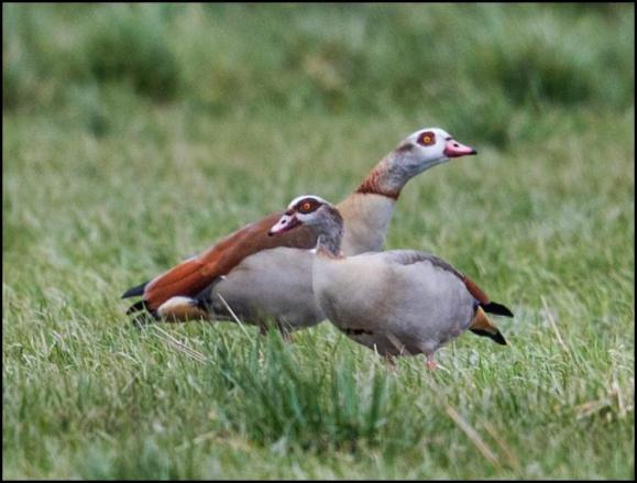 Egyptian Geese 140318