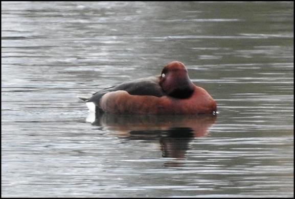 Ferruginous Duck 060318 3