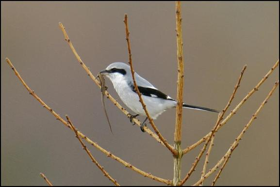 Great Grey Shrike 150318 1