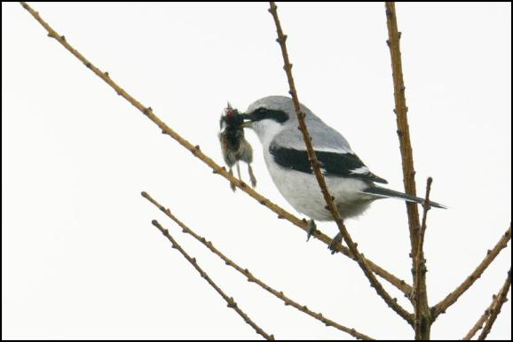 Great Grey Shrike 150318 2