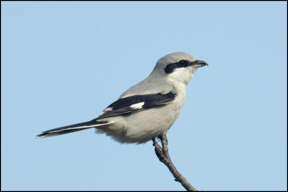 Great Grey Shrike 150318 3