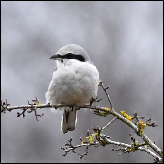 Great Grey Shrike 170318 1