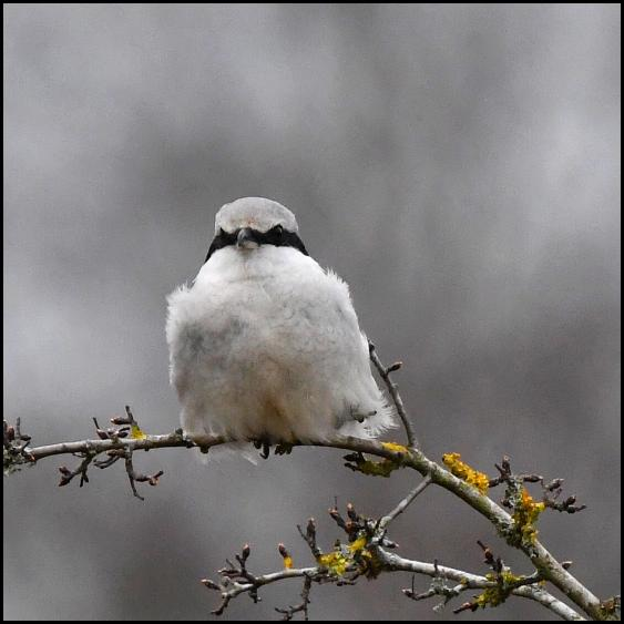 Great Grey Shrike 170318 2